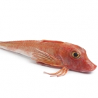 Whole Gurnard