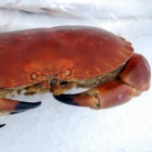 Crab Whole (Cooked)